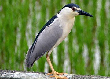 埤塘歷史、鷺鷥 、食用水生植物、生態棲所營造
