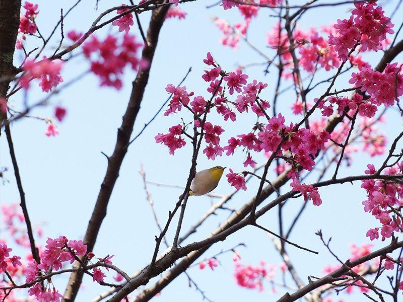 山櫻花及綠繡眼